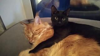 Мейн кун Степа и кот Тихон. Когда братюня немного приболел