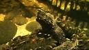 Alligator Snapping Turtle Feeding Macrochelys temminckii Geierschildkröten Fütterung