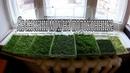 Яванский мох выращивание на подоконнике / Java moss growing on a windowsill