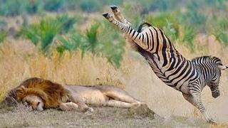 МАТЕРИ В ДЕЛЕ! Как мамы животного мира защищают детенышей! Битвы животных снятые на камеру!