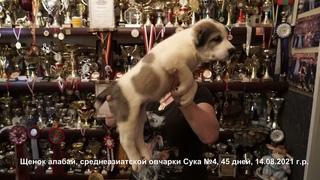 Щенки Среднеазиатской овчарки, алабаи, суки 45 дней.   +79262205603 Татьяна Ягодкина