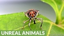 Long-legged weevil mimics fly to fool predators