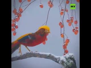 Золотой фазан - красавец!!!!