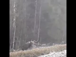 Охота медведя на лося, Круговорот в животном мире