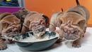 Sharpei puppies 3.5 weeks enjoying their first meal