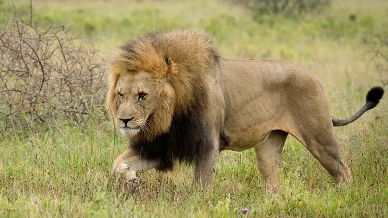 Практическое мультимедийное пособие Карнавал животных К Сен Санс Королевский марш льва видео