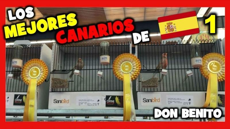 Los MEJORES CANARIOS de ESPAÑA 🥇 CAMPEONATO de ESPAÑA de ORNITOLOGIA CANARIOS Parte 1