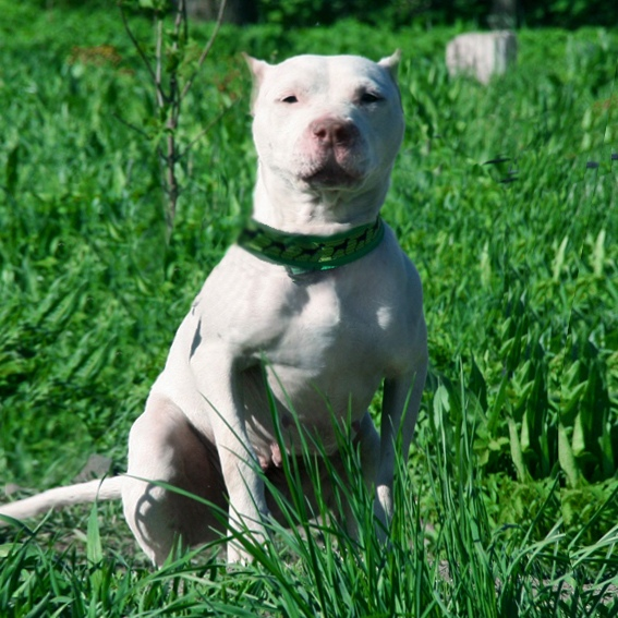 pitbull, apbt, pit, питбуль, пит, апбт, питомник, лучшийпитомник, щенок, белыйпитбуль, whitepitbull