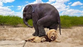 """Слон атакует. Самые эпичные битвы диких животных """"за 5 минут"""""""