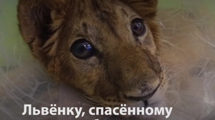 В Воронеже помогли львёнку Грому спасённому от контрабандистов