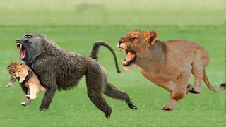 Big Baboon Catch Baby Lion - The Survival Battle of Lion vs Baboon - Wild Animals 2020