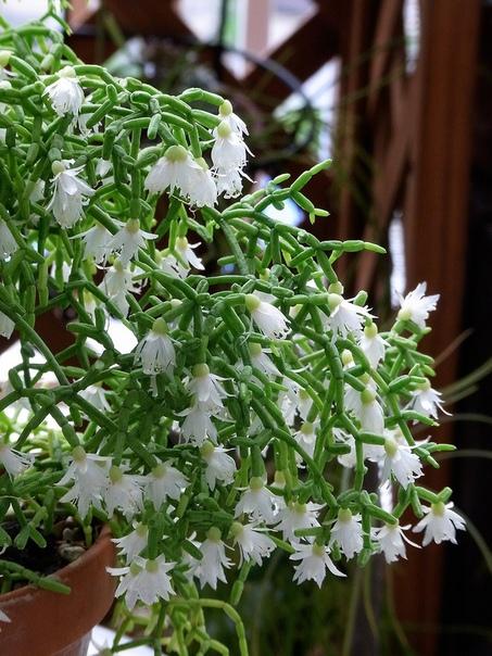 Рипсалисы Изначально в XVII в. эти и некоторые другие кактусы относили к одному роду Ха-риота (Hariota), названному в честь Томаса Хариота (Thomas Hariot). Ботаники-исследователи не могли не