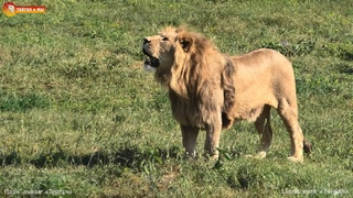 Молодые львы охотились на дрон, а поймали копыта. Lions life in Taigan.