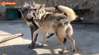 Как волчок Джон волчицу Еву к нам приревновал. Тайган. She-wolf Eve and wolf John. Taigan.