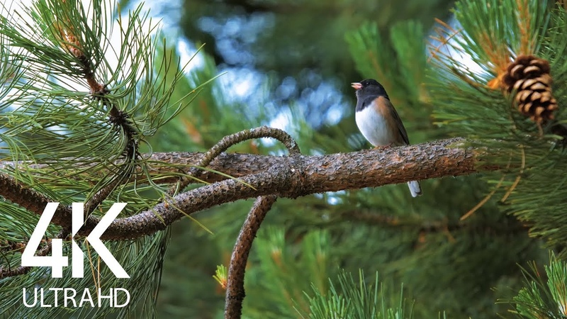 Birds Singing in the Forest - Nature Relaxation Video