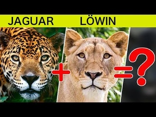 Was ist, wenn man Jaguar und Löwe kreuzt? Erstaunliche Großkatzenhybriden, von Menschen gezüchtet