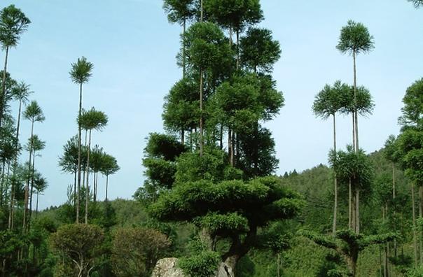 Заготовить пиломатериалы без вырубки леса реально Еще как Посмотрите, что придумали в Японии в XIV веке. Техника называется дайсуги. Выглядит необычно и странно: из ствола одного дерева,