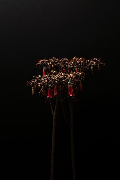Isaac Alvarez и его фотографии цветов в фотопроекте «Аромат» Исаак Альварес (Isaac Alvarez) коммерческий фотограф, режиссер и художник из Лос-Анджелеса, штат Калифорния, США. Исаак хорошо