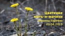 Цветение мать-и-мачехи. Саратов. 23.04.2019