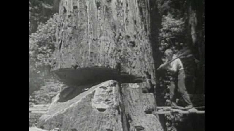 Redwood Lumber Industry Northern California 1947