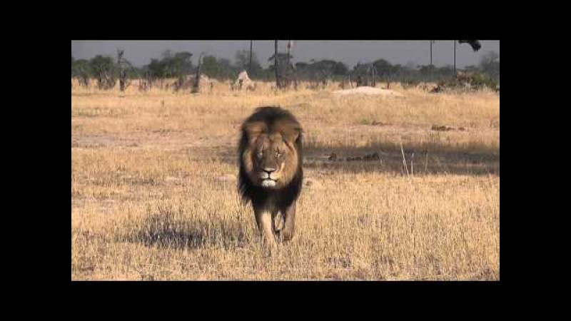 Дантист из США убил самого знаменитого льва в Зимбабве