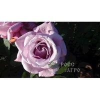 Роза чайно гибридная Моби Блюз
