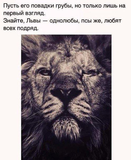 Статусы про львов с картинками