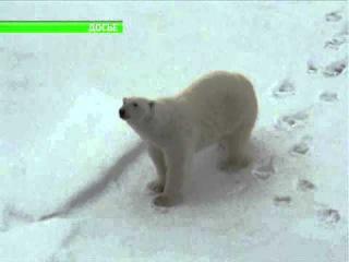 На Ямале создадут медвежий патруль