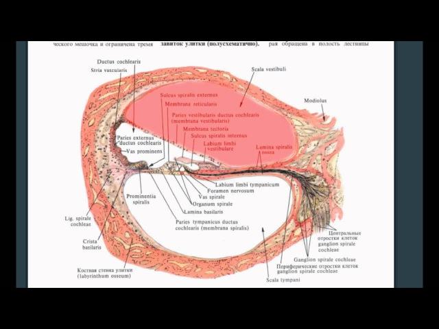 Анатомия слухового анализатора Звуковая волна