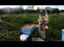 Усиление пчелиных отводков