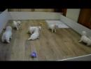 В нашем питомнике родились щенки Бишон Фризе