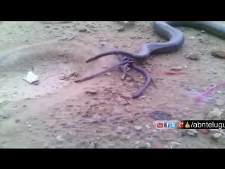 Змея рожает! Эксклюзив! Редкое видео!