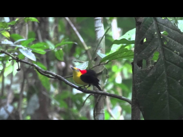 Wire tailed Manakin Pipra filicauda two adult males cooperative display
