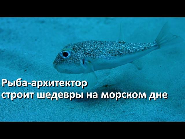 Рыба архитектор (бело-пятнистый иглобрюх) и его шедевры на морском дне