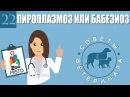 Пироплазмоз или бабезиоз у домашних животных Советы ветеринара