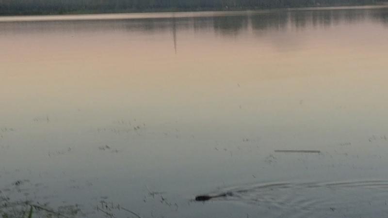 Какая-то живность в озере ещё есть l Людиново - набережная