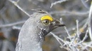 Dusky grouse / Дымчатый тетерев / Dendragapus obscurus