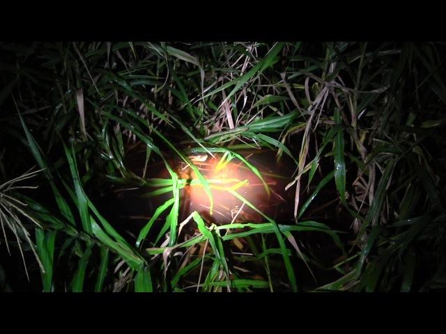 Анаконда убивает молодого черного каймана в Перуанской Амазонии