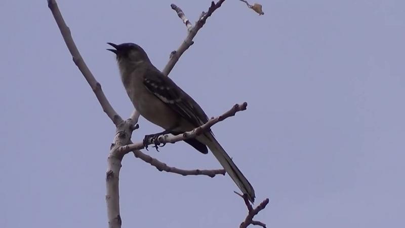 Многоголосый пересмешник (североамериканский певчий пересмешник(Mimus polyglottos)