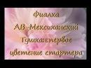 Фиалка сенполия АВ-Мексиканский Тушканпервое цветение стартера