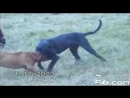 Бои собак,питбуль против дога