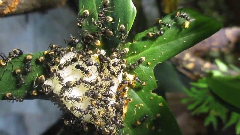 Мои муравьи- Colobopsis leonardi поедают яблоко