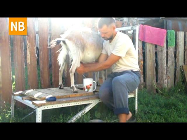 РОГАТЫЕ ХВОСТАТЫЕ четвероногие ОПЫТ разведения и содержания коз в хозяйстве Козоводство