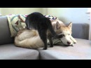 Cat gives this husky a massage before settling down for a nap