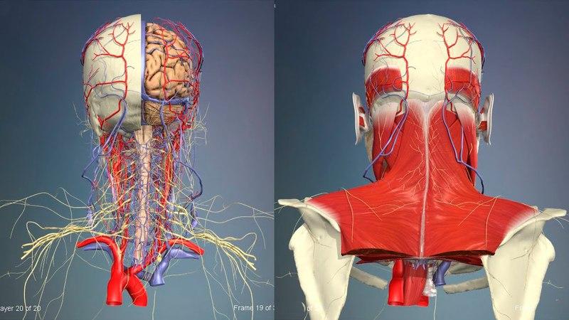 3D Анатомия человека - голова и шея, вид сзади. 3d fyfnjvbz xtkjdtrf - ujkjdf b itz, dbl cpflb.