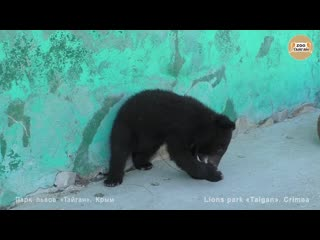 В гостях у медвежонка умки. тайган. visiting the umka bear cub. taigan