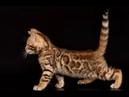 Бенгальская КОТЫ 2019 Смешные коты приколы про котов до слез – Смешные кошки 2019 – Funny Cats
