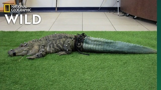Mr. Stubbs the Tailless Alligator Isn't Stubby Anymore | Nat Geo Wild