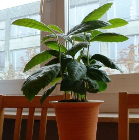 Мушмула как выращивать в домашних условиях