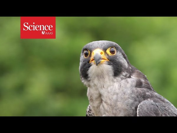 Peregrine falcons maneuver best when dive bombing at over 300 km hr